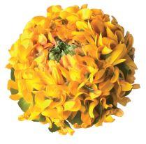 Ranunculus PonPon Merlino holl