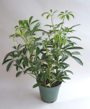 "4"" POTTED VARIEGATED ARB"