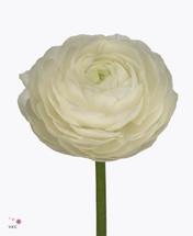 Ranunculus Aazur White holl