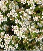 Waxflower Mini White fbi