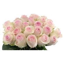 Rose Senorita 50cm priv coll r