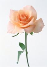 Rose Alba 70cm rprima