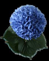 Hydrangea PimpernelBlue boer(s