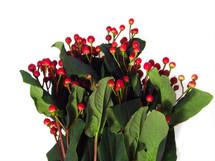 Hypericum RedLt Rom 70cm f.c.