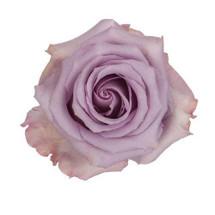 Rose Ocean Song 50cm priv coll