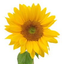 Sunflower Petite f.c.