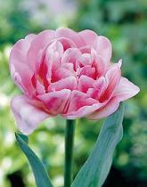 Tulip Dbl Pink Creme v.d.