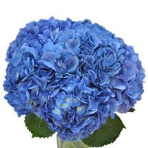 Hydrangea Elite Shocking Blue