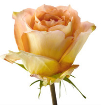 Rose Shukrani 50cm rfi