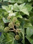 Tree Ivy Green regional