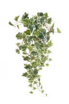 Tree Ivy Variegated Regional