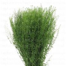 Lepidium GreenBell aviv