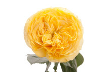 Rose Yellow Finess 50cm qual
