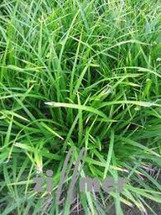 Plastic Milium grass each