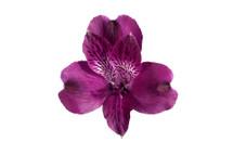 Alstro. Onix cont sel purple