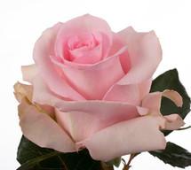 Rose Luciano 50cm rprima