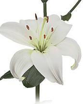 Lily Zambesi sande(white)