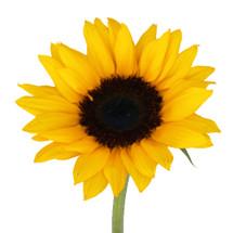 Sunflower Medium f.c. (10 stm)