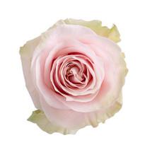 Rose PinkMondial 70cm ecuanros