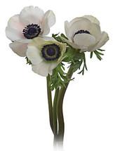 Anemone White holex