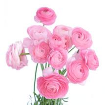 Ranunculus Pastel Pink aviv
