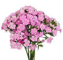 Dianthus Sweet Pink rfi