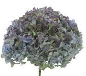 Hydrangea Antique Blue hydrafl