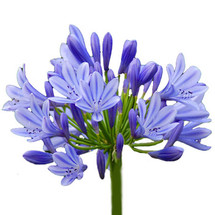 Agapanthus Blue much(5st)