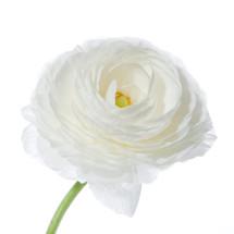 Ranunculus White holl super
