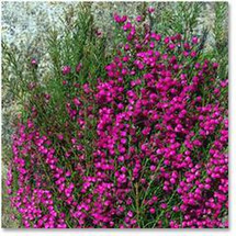 Boronia mellano