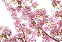 Crabapple Pink 5-6'sberry(5st)