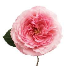 Rose Mayra Pink rprima