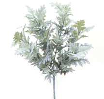 Dusty Miller bellaflor(10st)