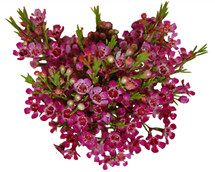 Waxflower Purple mellano