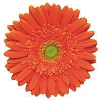 Gerber Orange ob