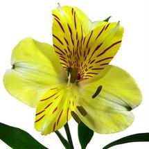 Alstro. Yellow gardens