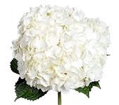 Hydrangea White Jumbo hydraflo