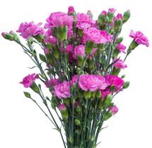 CarnMini Lavender b.mark