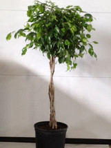 """10"""" POTTED FICUS BRD"""