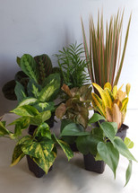 """3"""" POTTED FOLIAGE ASSORTED"""