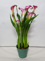 "4"" BLOOMING CALLA LILY"