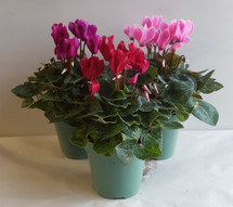 "4"" BLOOMING MINI CYCLAMEN"