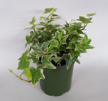 "4"" POTTED VARIGATED IVY"