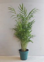 "4"" POTTED NB PALM"