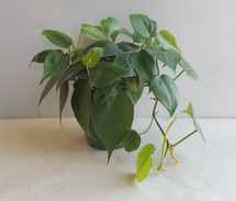 "4"" POTTED PHILODENDRON"