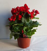 "6"" BLOOMING RIEGER BEGONIA"