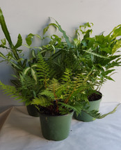 "6"" POTTED EXOTIC FERN ASSORTME"