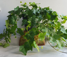 "6"" POTTED GREEN IVY"