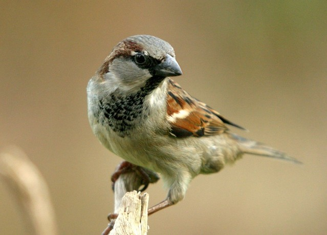 Learn how to get rid of sparrows.