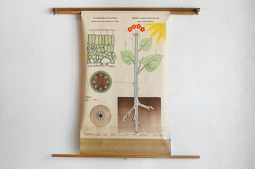 SOLD - Swedish Pull Down Diagram, Root Stem and Leaves, 1960s